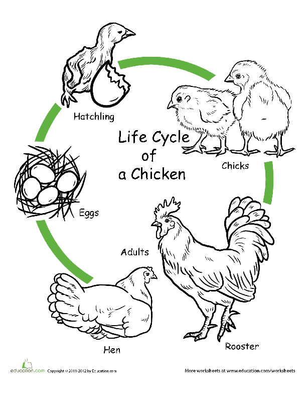 lion life cycle diagram 2000 ford mustang wiring the of a chicken art project | lesson plan education.com