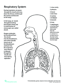 Human Body Systems Worksheets Middle School Pdf