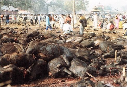 Brutal acts on animals in Gadhimai Mela Nepal