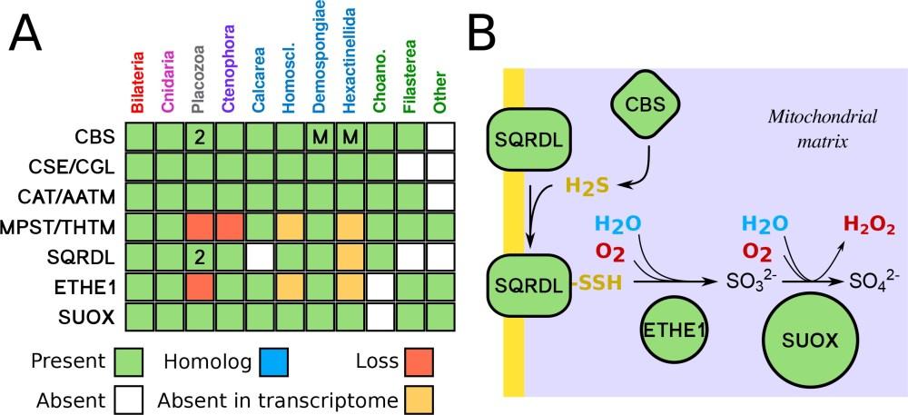 medium resolution of sulfide metabolism pathway