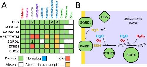 small resolution of sulfide metabolism pathway