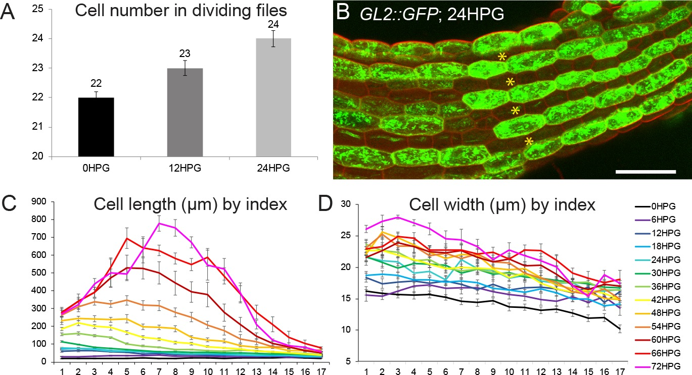 hight resolution of characterization of dividing and non dividing cell files and growth in non dividing files