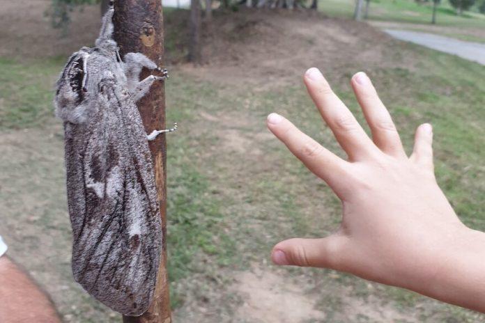 polilla gigante Australia