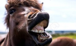 Funny Horse Smiling Showing Teeth With Open Mouth Stock P O