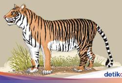 Harimau yang Mati Usai Mangsa 6 Kambing di Aceh Selatan Diduga Diracun