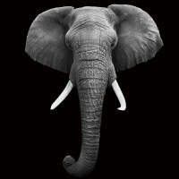 Wall Glass Art - Elephant - Head b&w | Buy at Europosters.eu