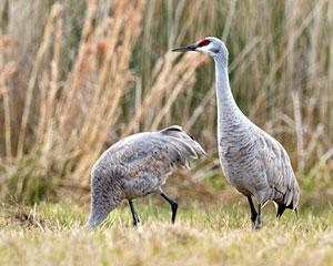 sandhill crane bird gallery
