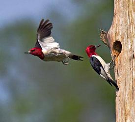 Redheaded Woodpecker  Bird Gallery  Houston Audubon