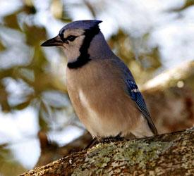blue jay bird gallery