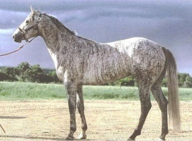 Тигровая серая животные, лошадь