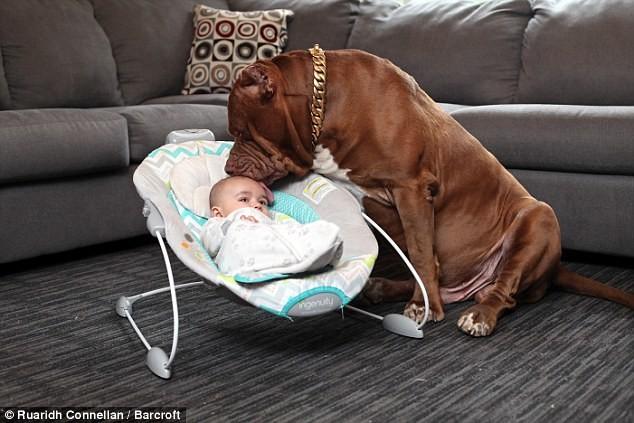 """""""Идеальная нянька для нашего малыша"""" —владельцы огромного питбуля доверяют ему своего ребенка питбули, питбуль Халк"""