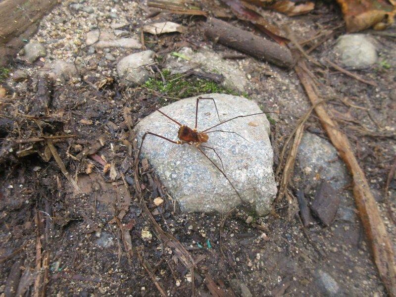 Паук с длиннющими лапками - прямо из ваших ночных кошмаров джунгли, дикие животные, животные, интересно, неизведанное, природа, фото, южная америка