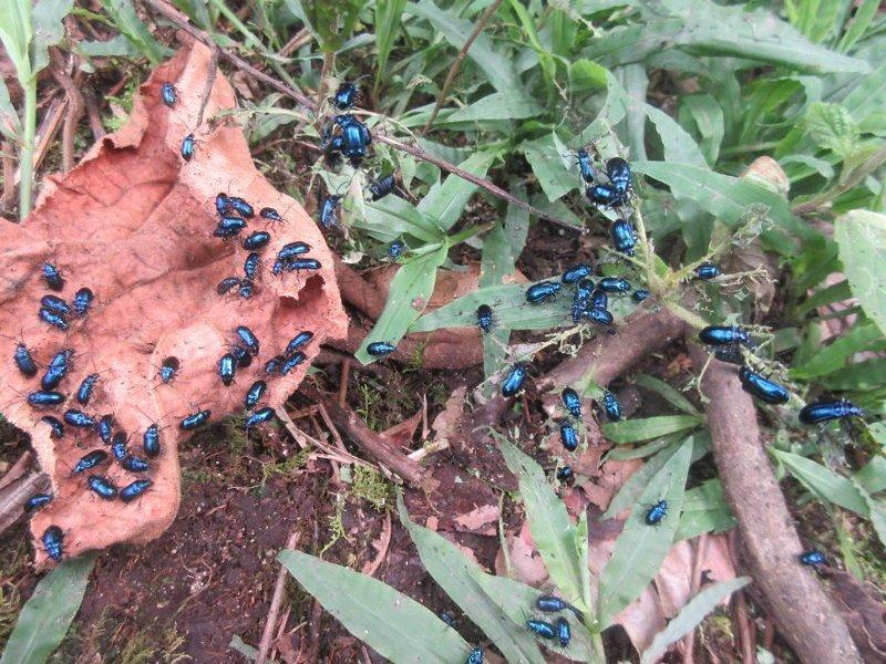 Семейство жуков джунгли, дикие животные, животные, интересно, неизведанное, природа, фото, южная америка