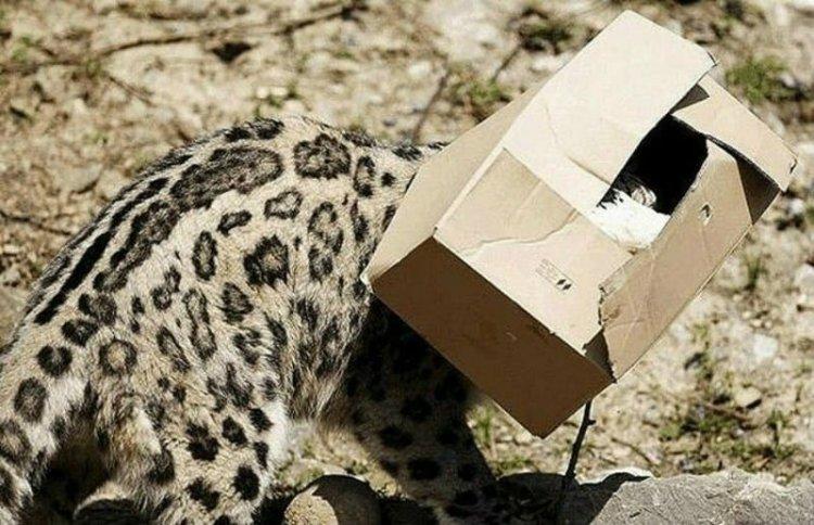 Большие котики тоже любят коробки большие кошки, коробки, фотографии