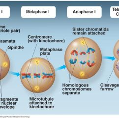 Meiosis 1 Diagram Wiring Diagrams For Cars Of Prophase In 2 Best Library