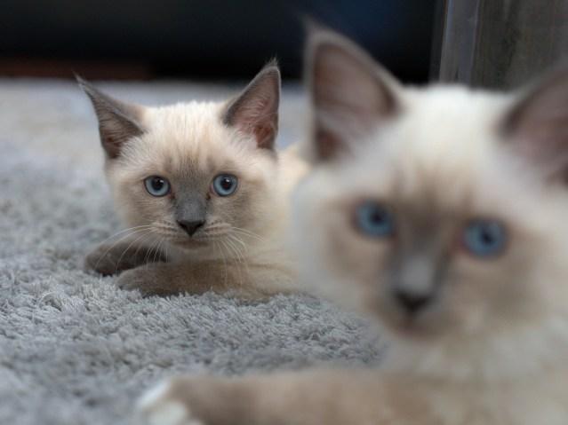 Filhotes de gato siamês
