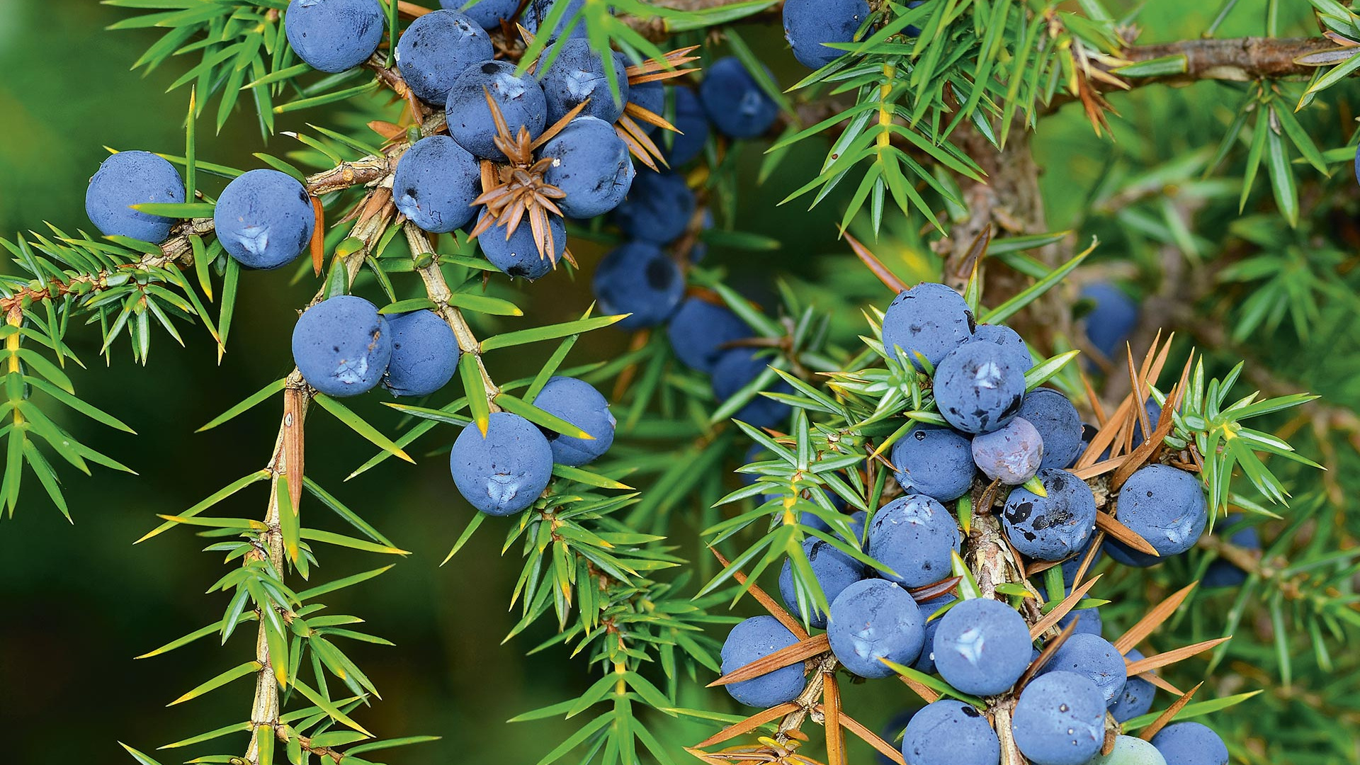 A World of Taste The botanicals behind every bottle of Bombay Sapphire  Foodism