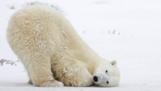 A la vida en la tierra sólo le quedan 30 años: ONU Oso polar Mexicaans fotomagazijn bell 2