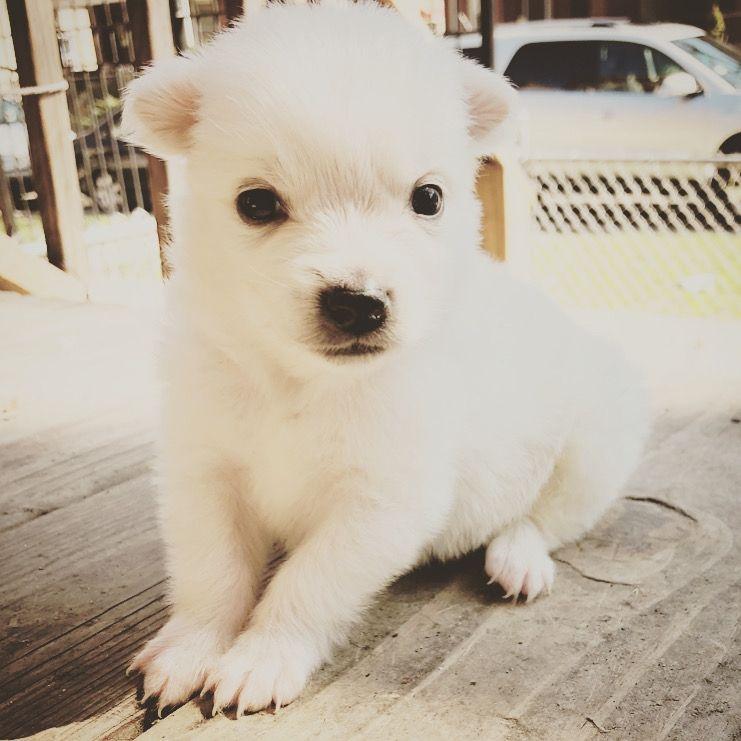 American Eskimo Dog Puppies For Sale Chicago Il 327136