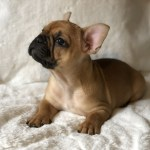 French Bulldog Puppies For Sale Pensacola Fl 289362