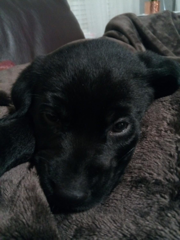Australian Shepherd Lab Mix For Sale : australian, shepherd, Australian, Shepherd, Puppies, Winder,, #317439