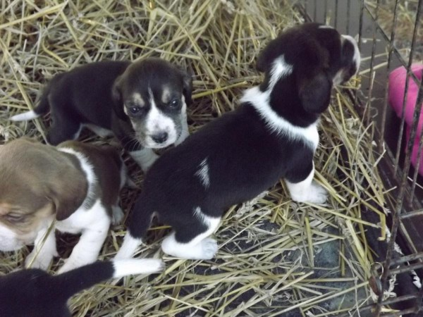 Bluetick Beagles For Sale Imgurl