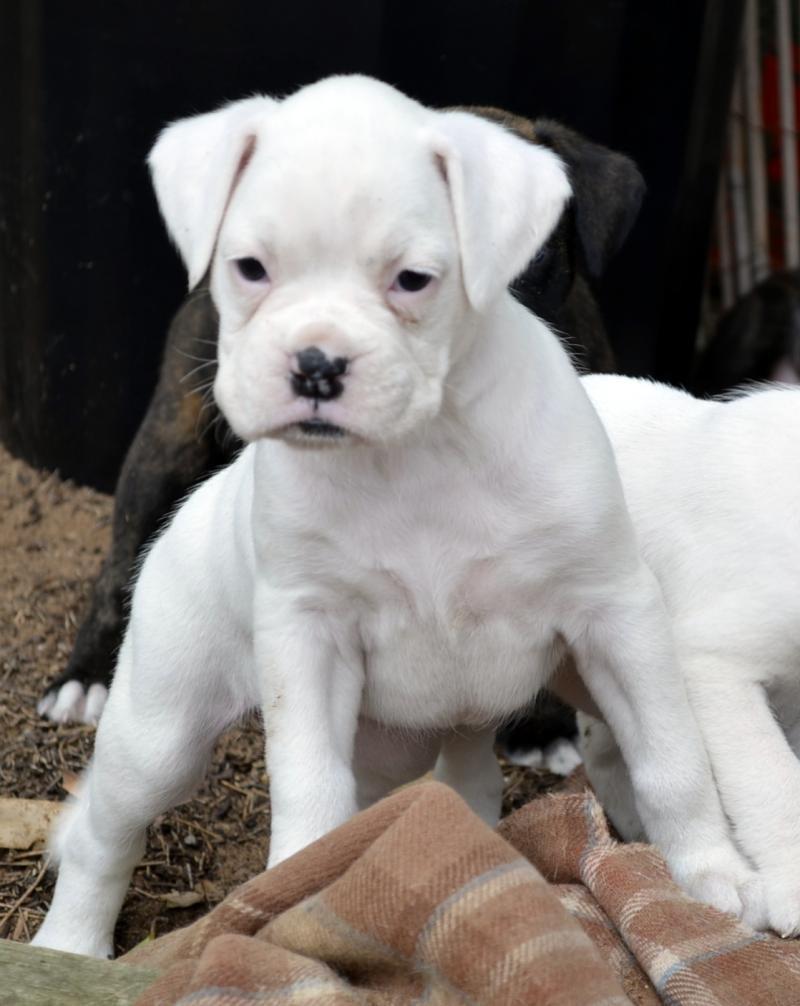 White Boxer Puppies For Sale Near Me : white, boxer, puppies, White, Boxers, Online
