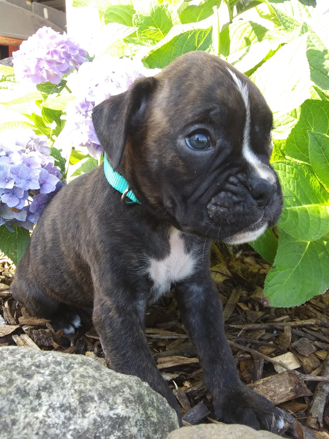 Boxers For Sale In Illinois : boxers, illinois, Boxer, Puppies, Plymouth,, #304882, Petzlover