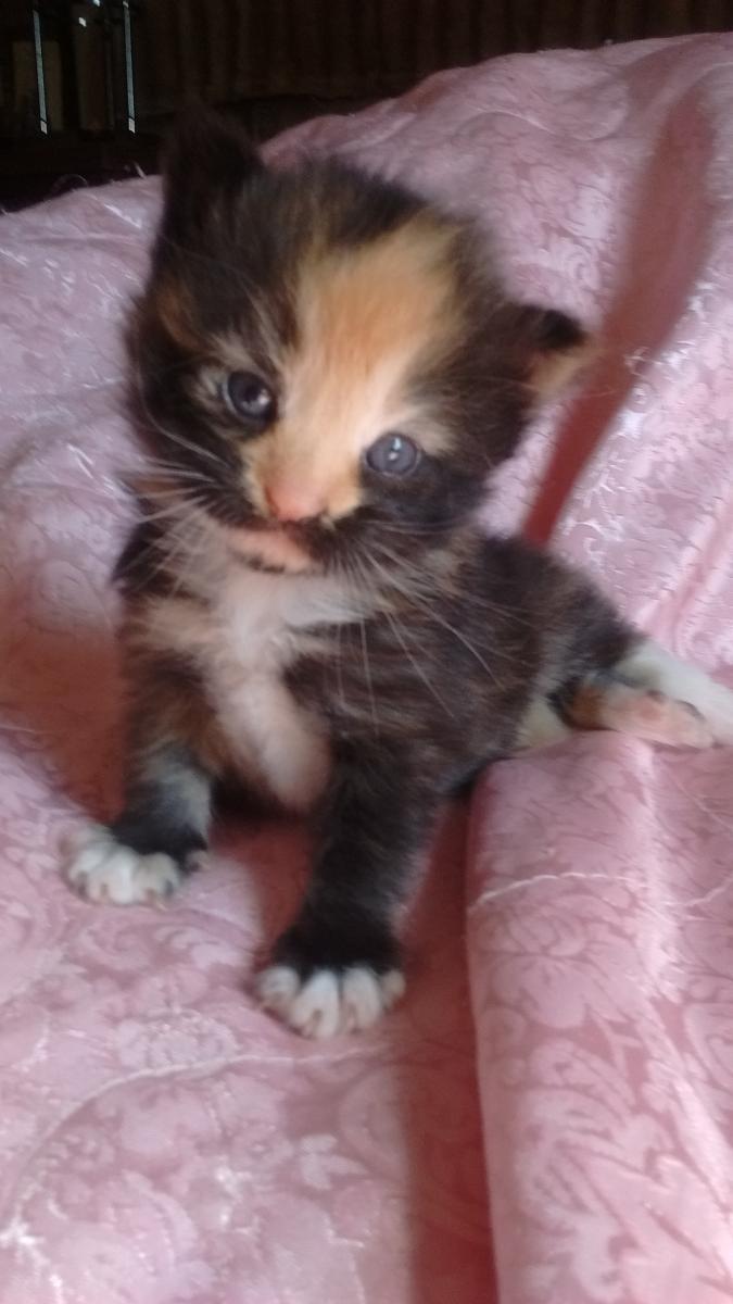 Calico Kittens For Sale Near Me : calico, kittens, Calico, Orlando,, #139311, Petzlover
