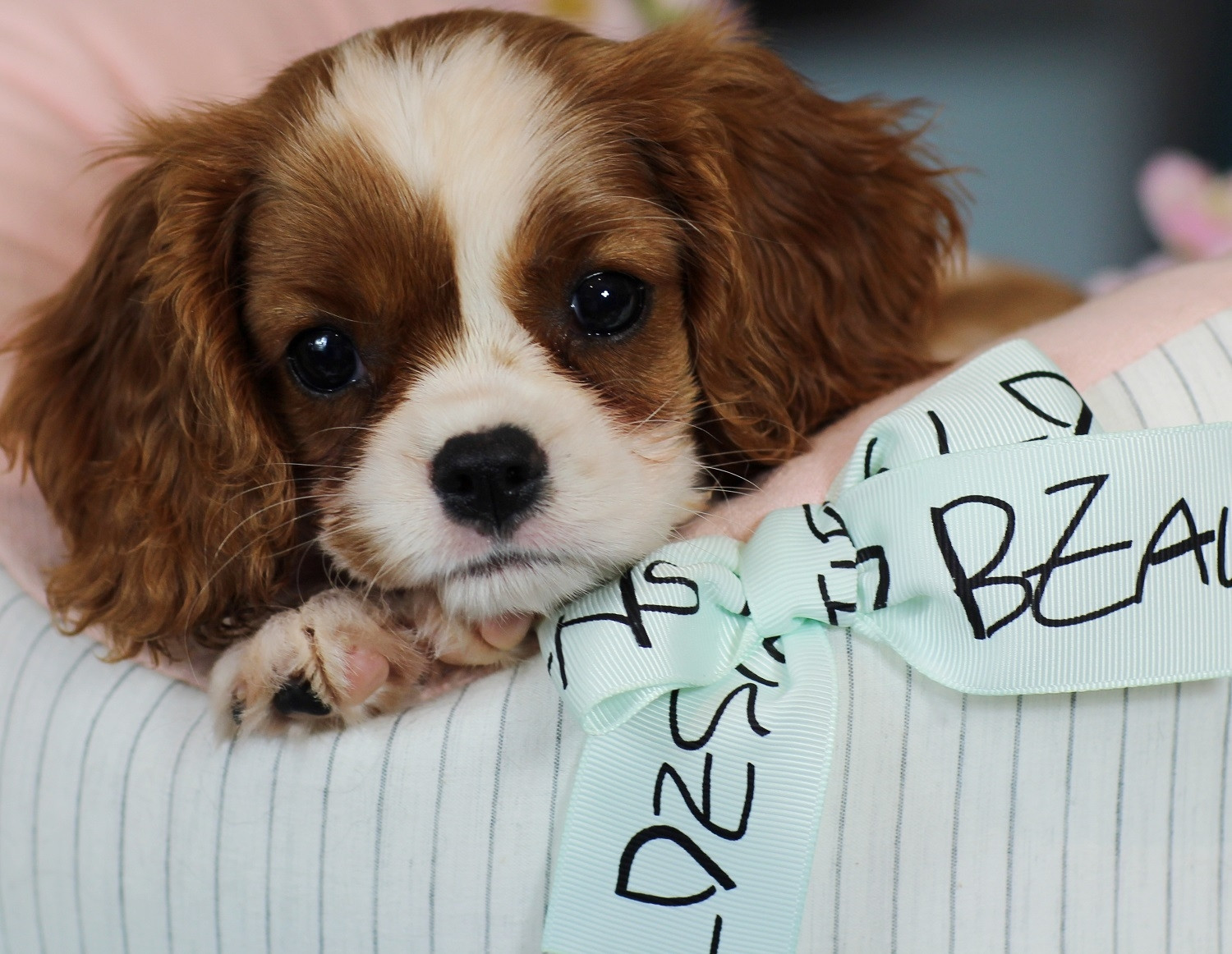 Cavalier King Charles Spaniel Puppies For Sale | Fort Lauderdale. FL #247197