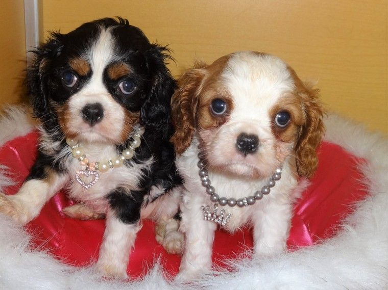 Cavalier King Charles Spaniel Puppies For Sale | San Francisco. CA #258446