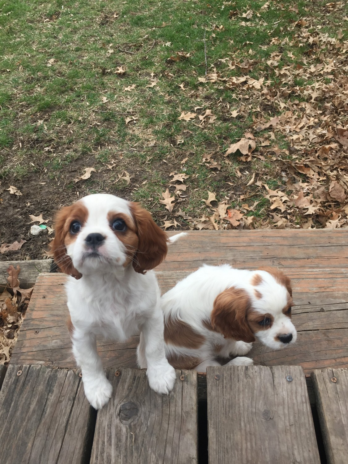 Cavalier King Charles Spaniel Puppies For Sale | Centreville. VA #326972