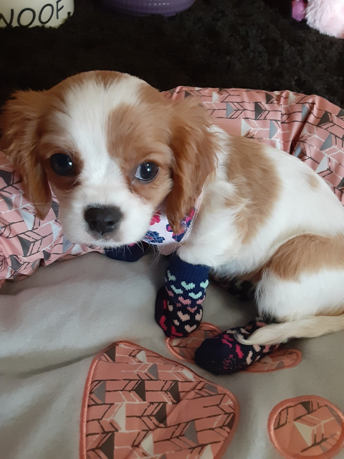 Cavalier King Charles Spaniel Puppies For Sale | East Stanford Circle. CO #327886