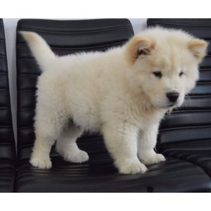 Perfect Sale Sale Chow Puppies Chow Puppies Iowa Sale Junk Mail Chow