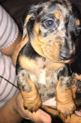 Dachshund Puppies For Sale In Michigan : dachshund, puppies, michigan, Dachshund, Puppies, Michigan, PetsWall