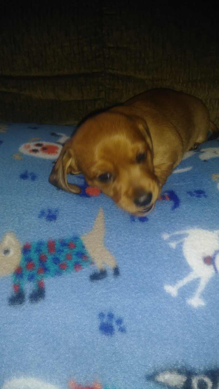 Dachshund Puppies For Sale In Michigan : dachshund, puppies, michigan, Dachshund, Puppies, Holly,, #285351, Petzlover