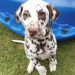 Dalmatian Puppies For Sale Pennsylvania Avenue Los Angeles Ca 255211