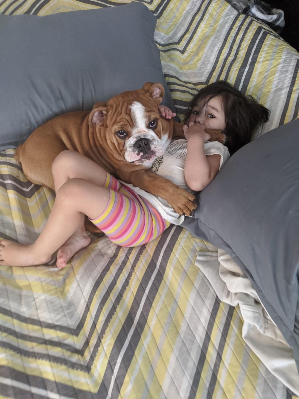 English Bulldog Puppies For Sale In Iowa : english, bulldog, puppies, English, Bulldog, Puppies, Moines,, #328188