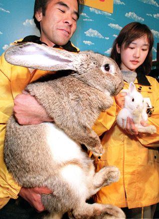 Flemish Giant Rabbit For Sale California : flemish, giant, rabbit, california, Flemish, Giant, Rabbits, Modesto,, #277449