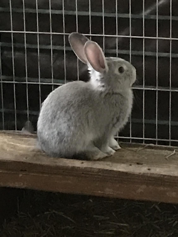 Flemish Giant Rabbit For Sale California : flemish, giant, rabbit, california, Flemish, Giant, Rabbit, Petfinder
