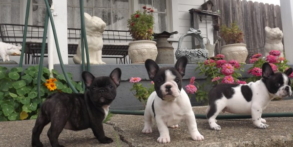 French Bulldog Puppies For Sale Nj Imgurl