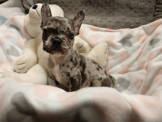 french bulldog puppies for sale | indianapolis, in #307271