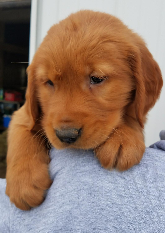 Red Golden Retriever Puppies For Sale : golden, retriever, puppies, Golden, Retriever, Puppies, Petfinder