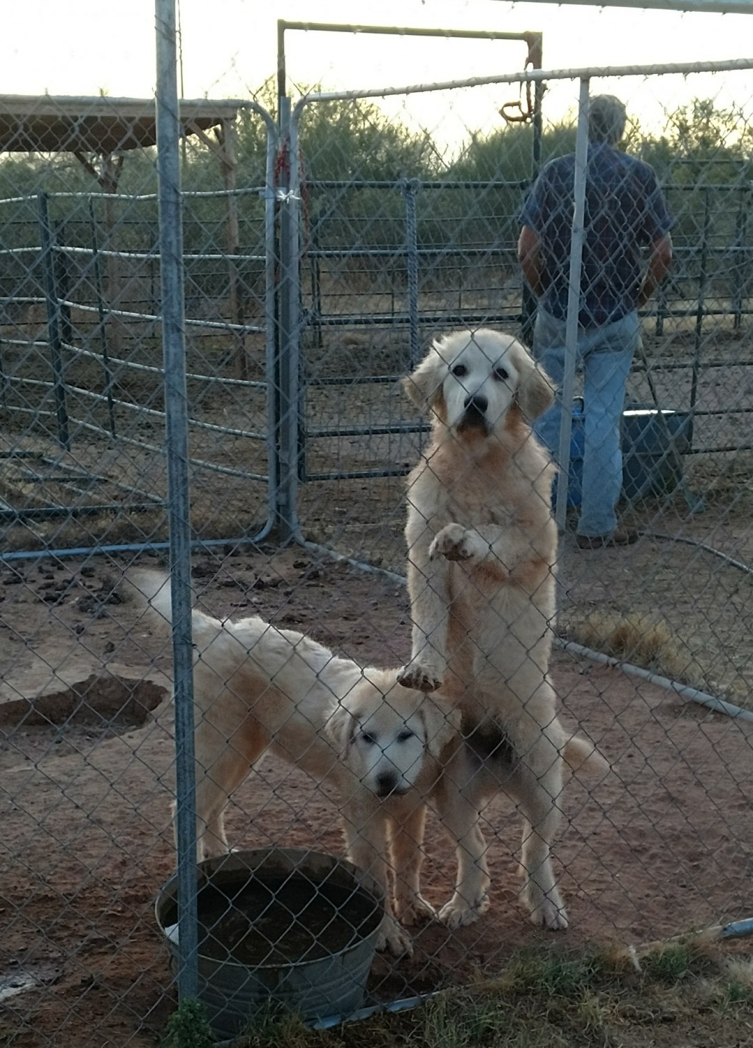 Great Pyrenees Puppies For Sale  Wittmann AZ 204340