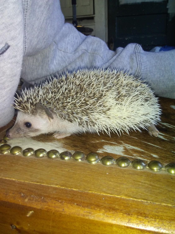 Hedgehog Animals For Sale