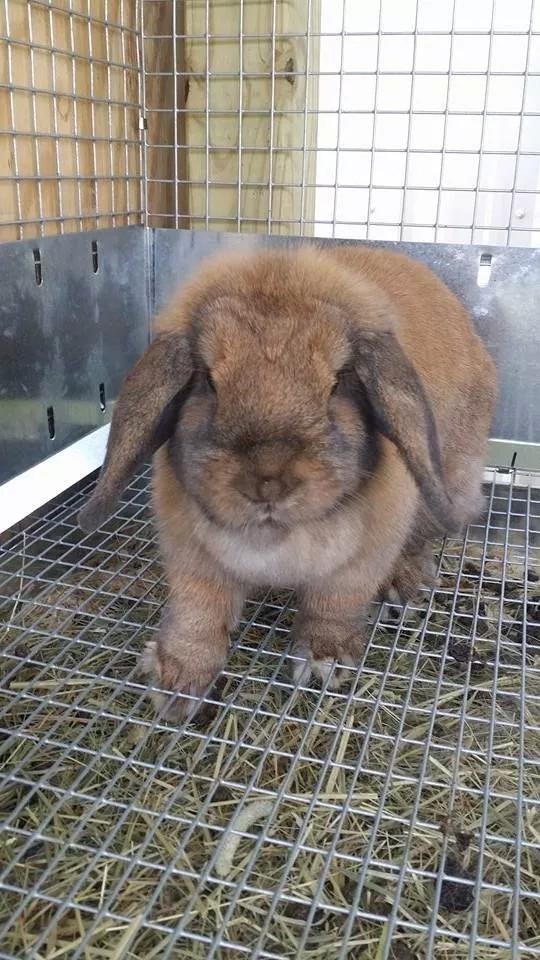 Bunnies Lop Holland Near Me Sale