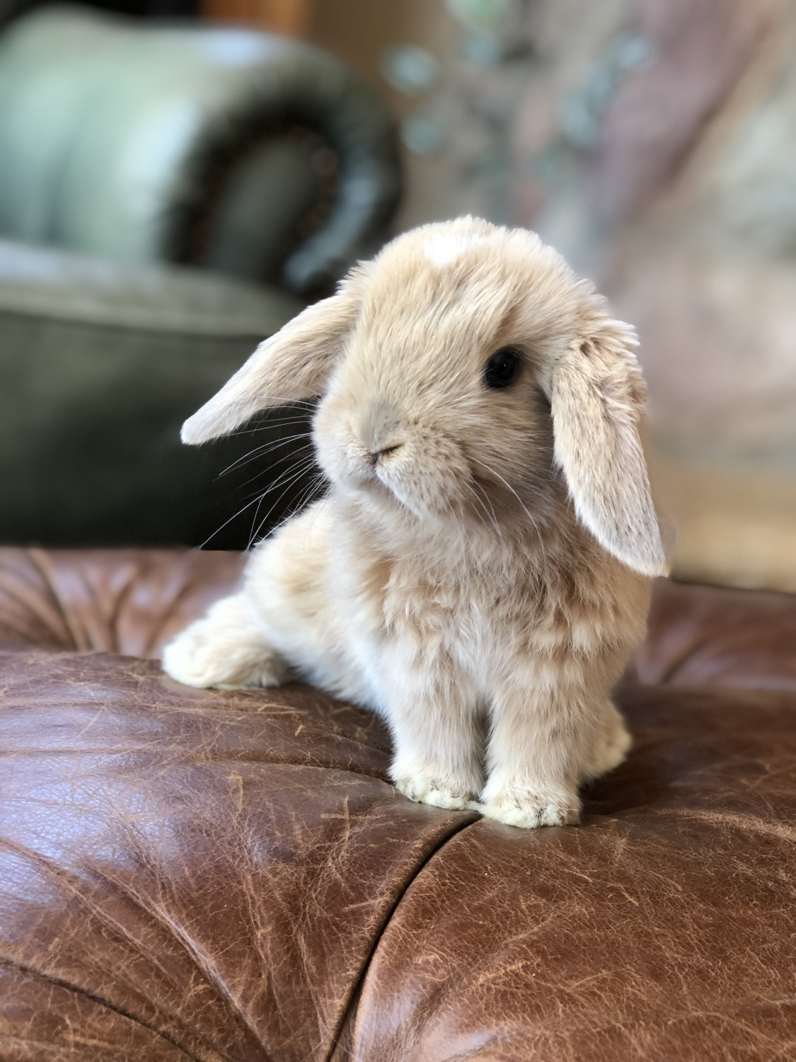 Live Bunnies For Sale Near Me : bunnies, Bunnies, Viewer