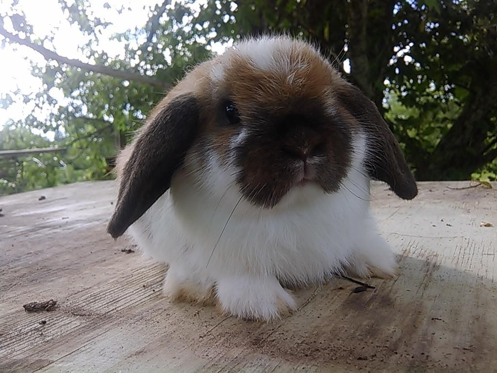 Bunnies Sale Near Holland Me Lop