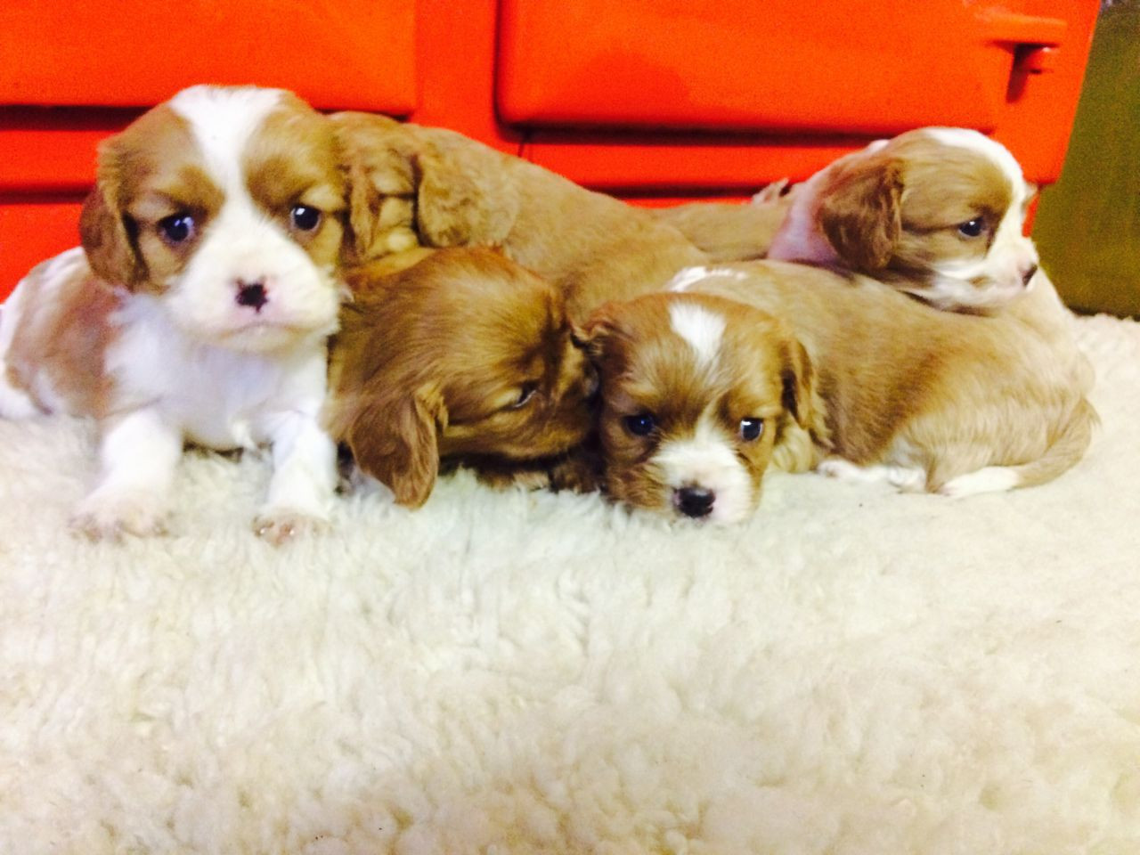 King Charles Spaniel Puppies For Sale | Norfolk. VA #257013
