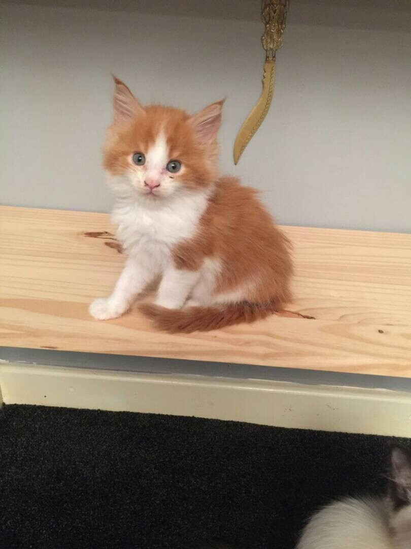 Maine Coon Kittens For Sale Tn : maine, kittens, Maine, Highway, #247735